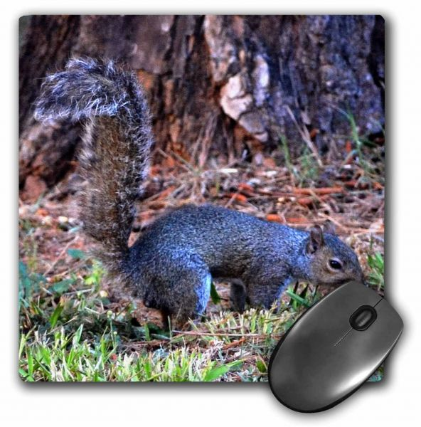 3dRose Its Just Too Early print of squirrel in the yard early morning - Mouse Pad, 8 by 8 inches (mp_193024_1)